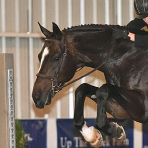dutch warmblood mare for sale