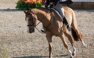 FOR SALE: 12 year old Italian Warmblood